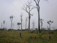 Pesquisa aponta alta incidência de mortes de castanheiras em áreas desmatadas de Oriximiná